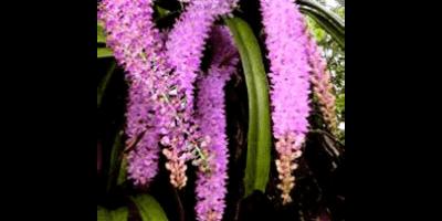Hoa lan rừng - Aerides foxtail