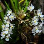 Cách trồng lan CAPANEMIA