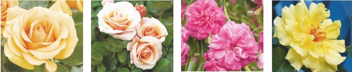 Hướng dẫn trồng hoa hồng