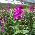 Kỹ thuật trồng lan Dendrobium (Hoàng thảo)
