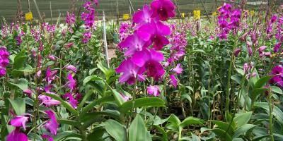 Kỹ thuật trồng lan Dendrobium