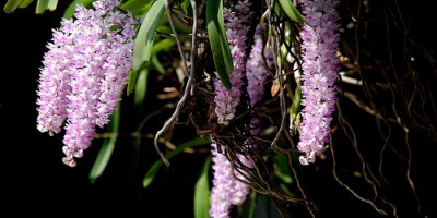 Aerides foxtail