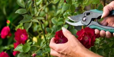 Môi trường cần thiết để trồng hoa Hồng tại Việt Nam