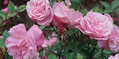 các giống hồng phổ biến ở Việt Nam