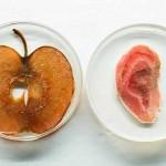 Tạo tai người bằng… táo – dự án siêu vi diệu của nhân loại