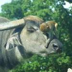 [Ngụ ngôn về muôn loài trong kinh Phật] Trâu và khỉ