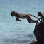 [Ngụ ngôn về muôn loài trong kinh Phật] Bầy khỉ nhảy xuống biển
