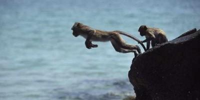 Bầy khỉ nhảy xuống biển