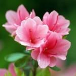 Đỗ quyên – Loài hoa độc chữa được nhiều bệnh