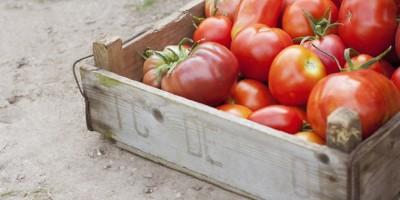 Cà chua không phải là thực phẩm để tủ lạnh.
