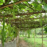 Kỹ thuật chăm sóc và trồng bầu cho nhiều quả