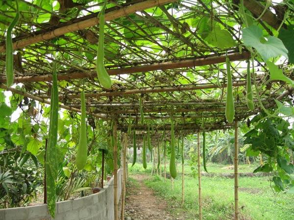 kỹ thuật chăm sóc và trồng bầu.
