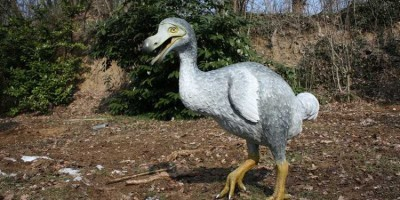 chim dodo.