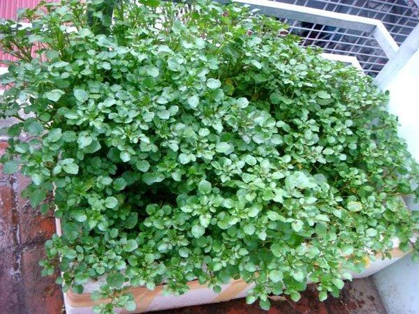 Kỹ thuật trồng cải xoong rất đơn giản.
