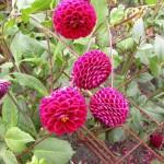 Hướng dẫn cách trồng và chăm sóc hoa thược dược nở đúng Tết