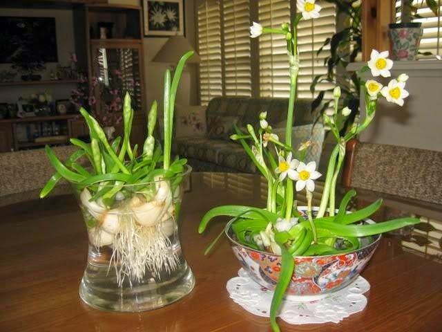 hướng dẫn trồng hoa thủy tiên nở ngay tết.