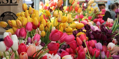 Nắm vững kỹ thuật trồng hoa sẽ giúp người trồng hoa có được những bông tulip rực rỡ nhất.
