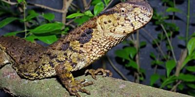 bảo tồn quần thể của loài thằn lằn cá sấu trong điều kiện nuôi nhốt nhân tạo.