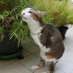 Chú mèo 2 chân gây sốt mạng xã hội