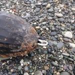 Ống nhựa khổng lồ 100m dạt vào bờ biển New Zealand
