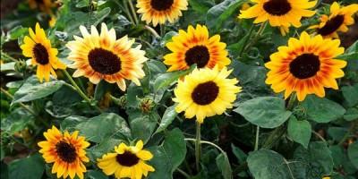 Kỹ thuật trồng hoa hướng dương khá dễ so với các loại hoa khác.
