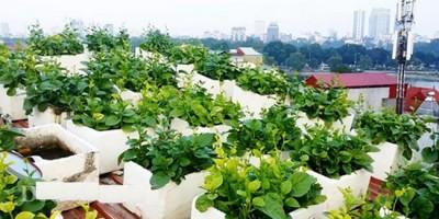 Kỹ thuật trồng rau sạch tại nhà.