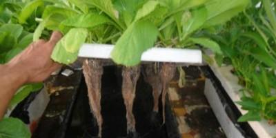 Rau cải được trồng theo kỹ thuật thủy canh.